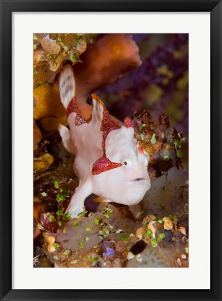 Framed Frogfish or anglerfish Print
