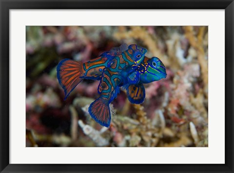 Framed Mandarin fish Print