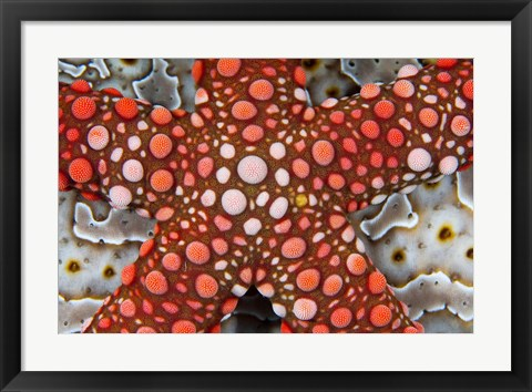 Framed Partial view of colorful sea star over a sea cucumber, Raja Ampat, Indonesia Print