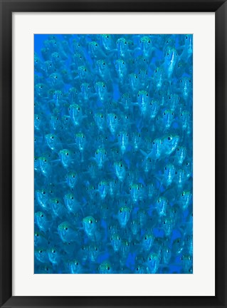 Framed Schooling ox-eyed scad fish Print