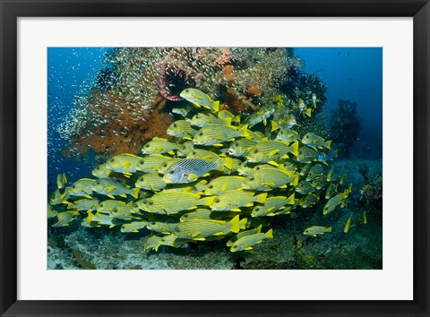Framed Schooling sweetlip fish swim past coral reef, Raja Ampat, Indonesia Print
