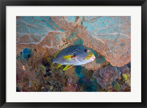 Framed Sweetlip fish, sea fan coral Print