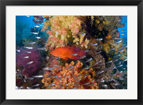 Framed Trout fish, glassfish, coral Print