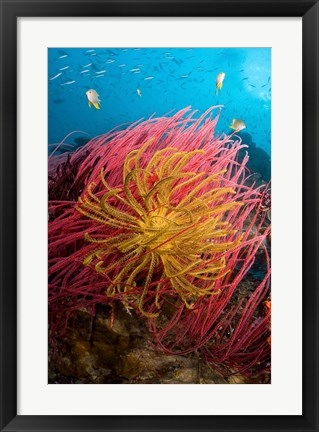 Framed Two varieties of feather star crinoids, Pisang Islands, Papua, Indonesia Print