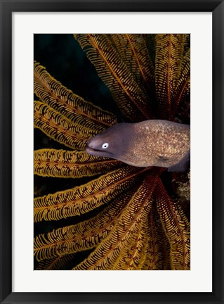 Framed White-eye moray eel and coral Print