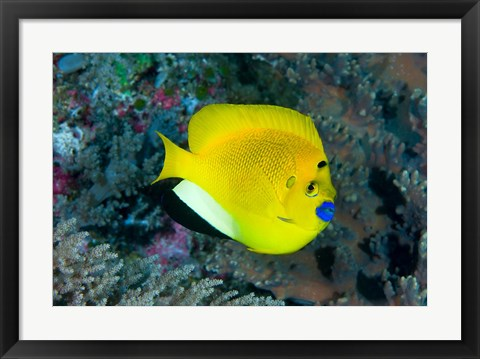 Framed Angelfish swims in coral reef Print