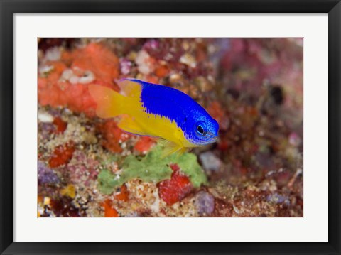 Framed Damselfish and coral reef Print