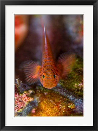 Framed Goby fish above coral Print