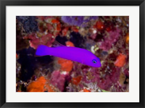 Framed Magenta dottyback fish Print