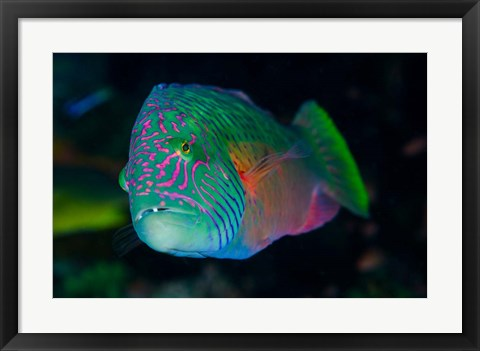 Framed Close-up of colorful wrasse fish Print
