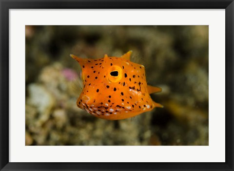 Framed Close-up of juvenile cowfish Print