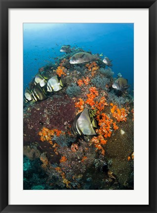 Framed Fish swim around coral, Tatawa Besar, Komodo NP, Indonesia Print