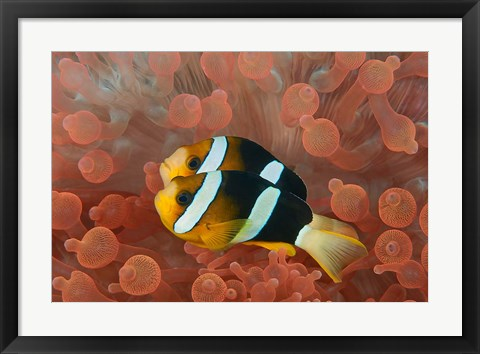 Framed Two anemonefish in protective anemone, Raja Ampat, Papua, Indonesia Print