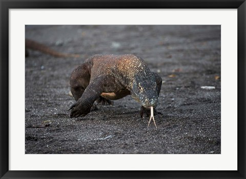 Framed Close-up of Komodo dragon Print