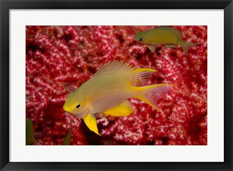 Framed Golden Damselfish, Gorgonian Sea Fan, Indonesia Print