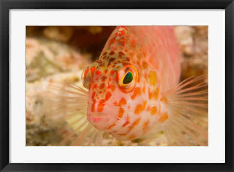 Framed Pixie Hawkfish, Banda Sea, Indonesia Print