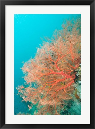 Framed Sea Fan, Raja Ampat region, Papua, Indonesia Print