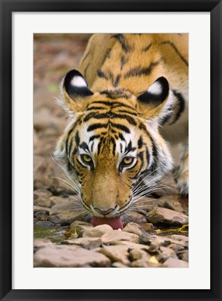 Framed Tiger Drinking from A Creek, Ranthambore National Park, Rajasthan, India Print