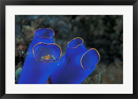 Framed Crab Peeking From Tunicate, Irian Jaya, Indonesia Print