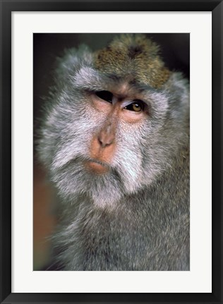 Framed Long Tailed Macaques, Sacred Monkey Forest, Ubud, Bali, Indonesia Print