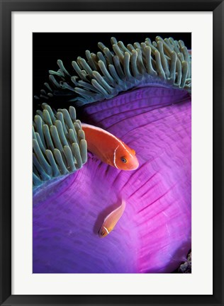 Framed Anemonefish swimming in anemone tent, Indonesia Print