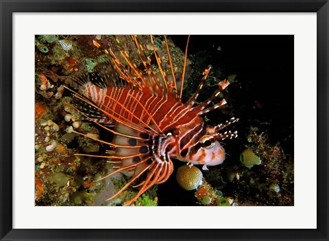 Framed Indonesia, Sulawesi, Spotfin lionfish Print