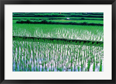 Framed Rice Cultivation, Bali, Indonesia Print