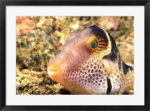 Framed Sharpnose Puffer, Indonesia Print