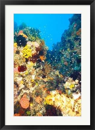 Framed Healthy Reef, Komodo, Indonesia Print