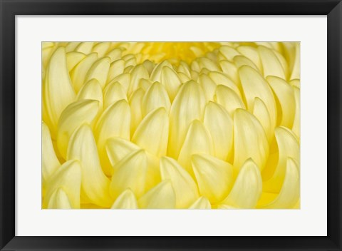 Framed Chrysanthemum Flowers, Ise Shrine, Mie, Japan Print