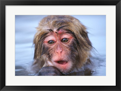 Framed Japan, Nagano, Jigokudani, Snow Monkey in Hot Spring Print