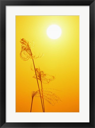 Framed Susuki Grass at Sunset, Kagoshima, Japan Print
