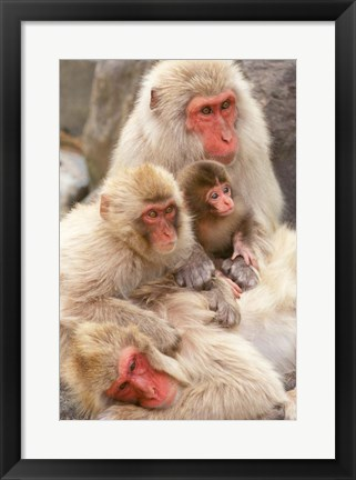 Framed Japan, Nagano, Jigokudani, Snow Monkey Family Print