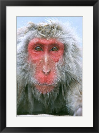 Framed Snow Monkey, Japanese Macaque, Nagano, Japan Print
