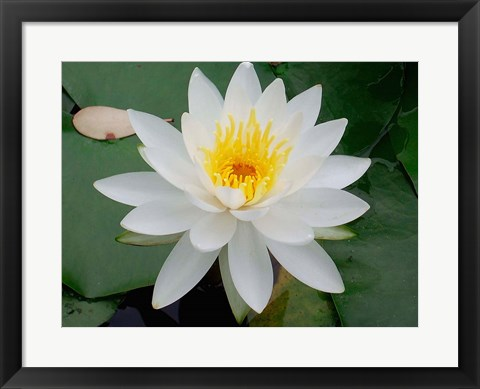 Framed Flower in Bloom, Kyoto, Japan Print