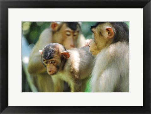 Framed Southern Pig-Tailed Macaque, Sepilok, Borneo, Malaysia Print
