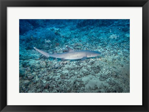 Framed WhiteTip Reef Shark, Malaysia Print