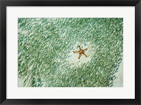Framed Marine Life, Knobly Sea Star andFish, Sipadan, Malaysia Print