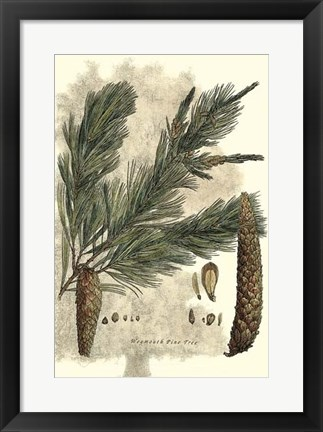 Framed Antique Weymouth Pine Tree Print