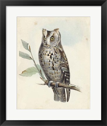 Framed Meyer Scops-Eared Owl Print