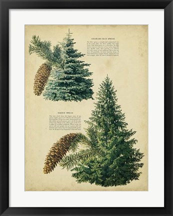Framed Colorado Blue Spruce &Norway Spruce Print