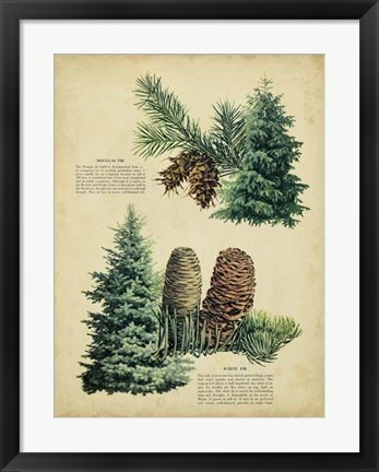 Framed Douglas Fir & White Fir Print