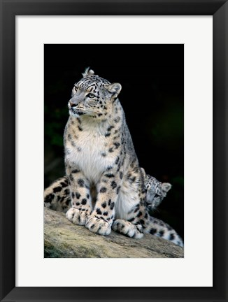 Framed Snow Leopard, Uncia uncia, Panthera uncia, Asia Print