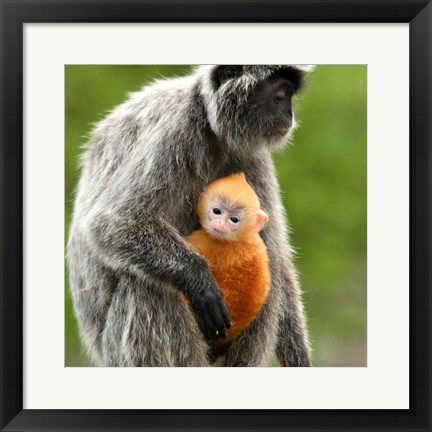 Framed Silver Leaf Monkey and offspring, Borneo, Malaysia Print