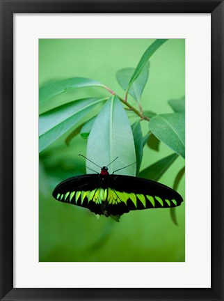 Framed Rajah Brooke's Birdwing, Malaysia's national butterfly Print