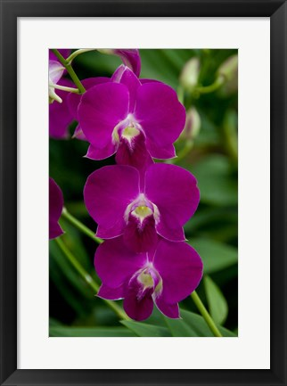 Framed Singapore. National Orchid Garden - Pink Orchids Print
