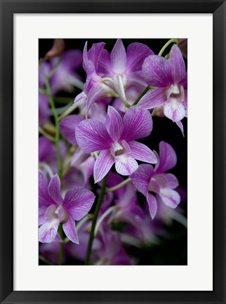 Framed Singapore. National Orchid Garden - Purple/White Orchids Print