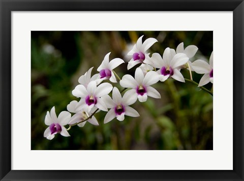Framed Singapore. National Orchid Garden - White Orchids Print