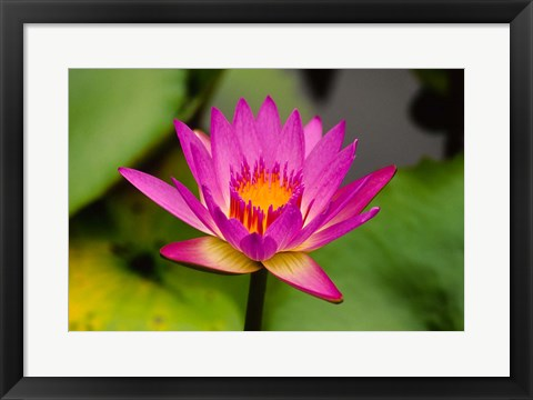 Framed Single magenta water lily at the Orchid Garden at Lake Gardens Park in Kuala Lumpur Malaysia Print