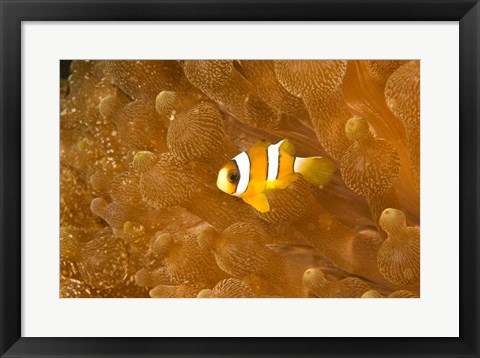 Framed Clark's Anemonefish, Puerto Gallera, Philippines Print